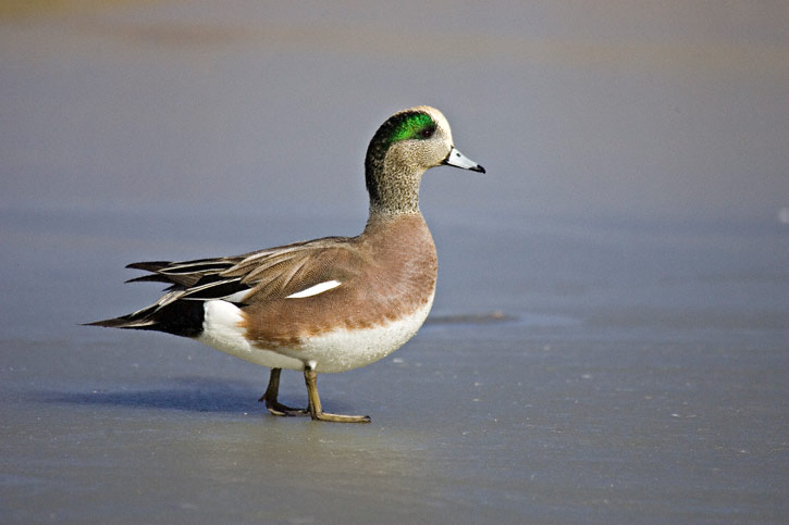 American wigeon - photo#26