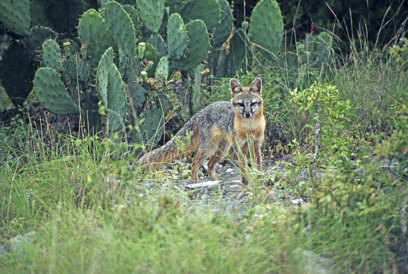 Gray fox habitat - photo#6