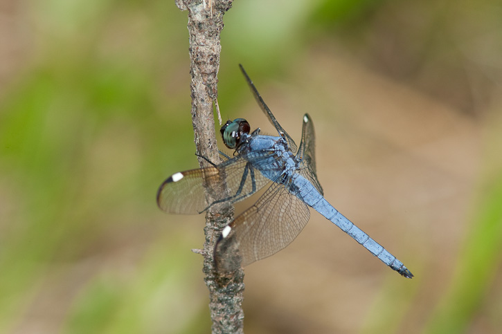 Spangled Skimmer (Libellula cyanea) - photo#19