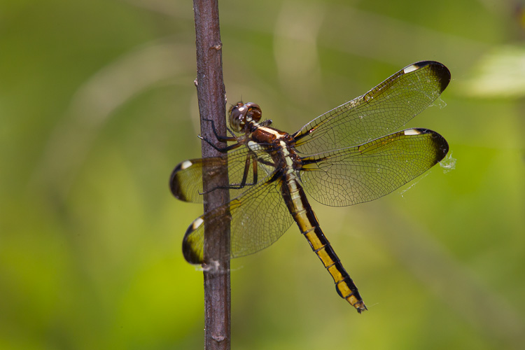 Spangled Skimmer (Libellula cyanea) - photo#29