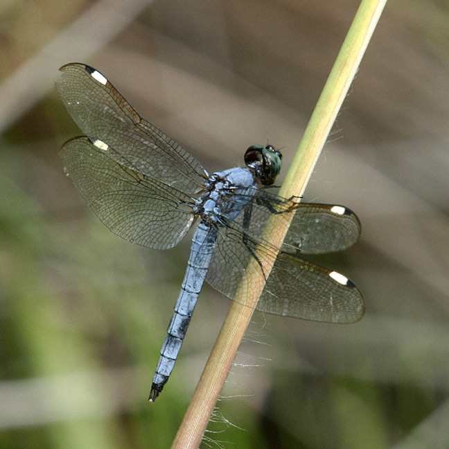 Spangled Skimmer (Libellula cyanea) - photo#49