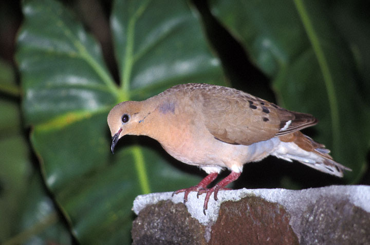 zenaida dove - photo #47