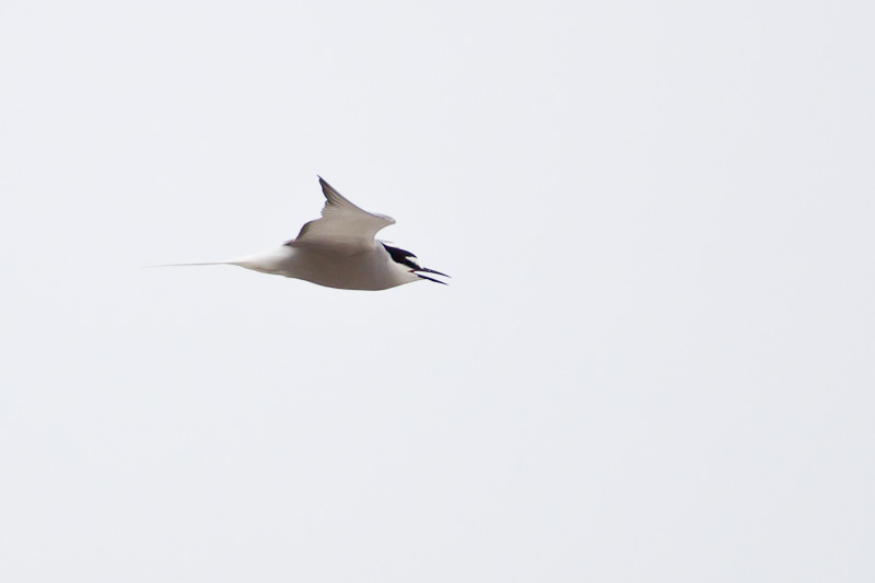 Aleutiantern besides Ausbird furthermore Aleutiantern also White Tailed Kite besides White Winged Dove. on aleutian tern