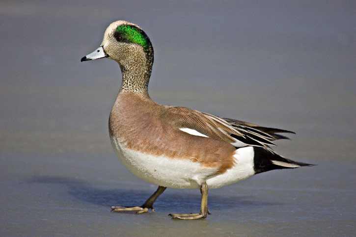 American wigeon - photo#1