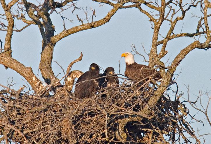 An American Bald Eagle Nesting Close To A Major Roadway Along Texas 29 In Llano