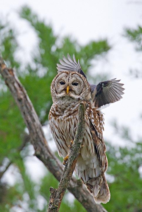 Barred Owl (Strix vari...