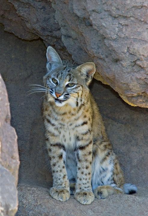 Arizona Cats Eye