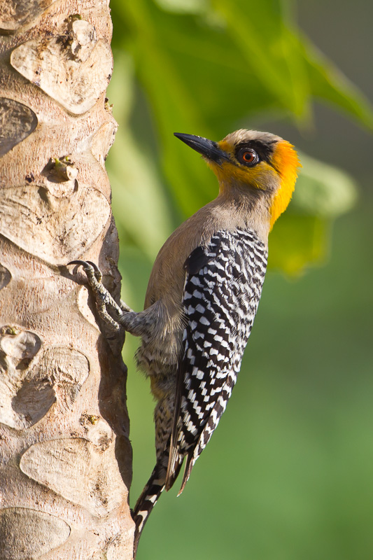 Golden Cheeked Woodpecker Melanerpes Chrysogenys