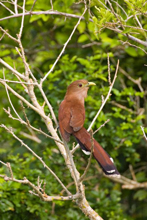 Squirrel Cuckoo Squirrel Cuckoo (Piaya...