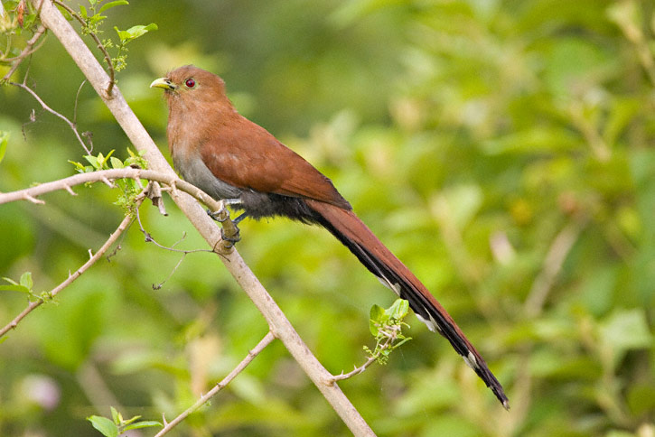 Squirrel Cuckoo Squirrel Cuckoo (Piaya...