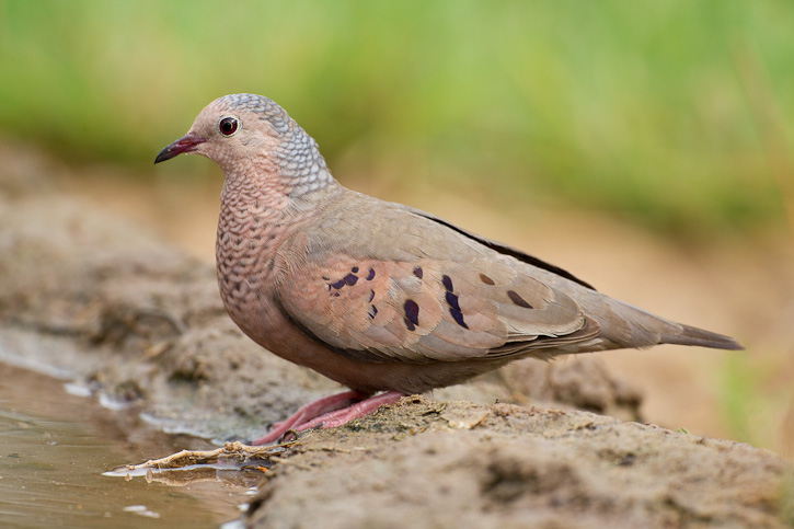 http://greglasley.com/images/BirdsofNorthAmerica/Common%20Ground-Dove%200033.jpg