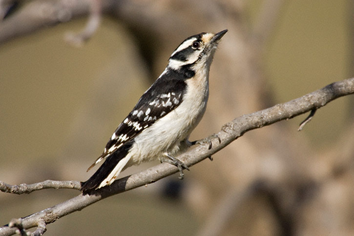 An analysis of downy woodpeckers in american ornithology