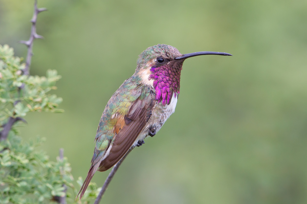 Lucifer Hummingbird Overview, All About Birds, Cornell Lab of ...