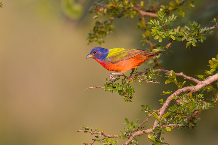 The Painted Bunting Passerina Ciris Is A Common Nesting Bird Of Much Of The South Central U S Including Texas Oklahoma Arkansas And Louisiana