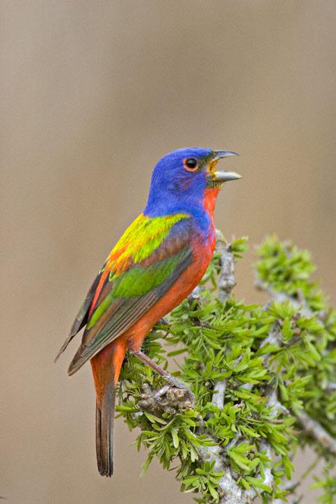The Next Three Shots Show Female Plumaged Birds