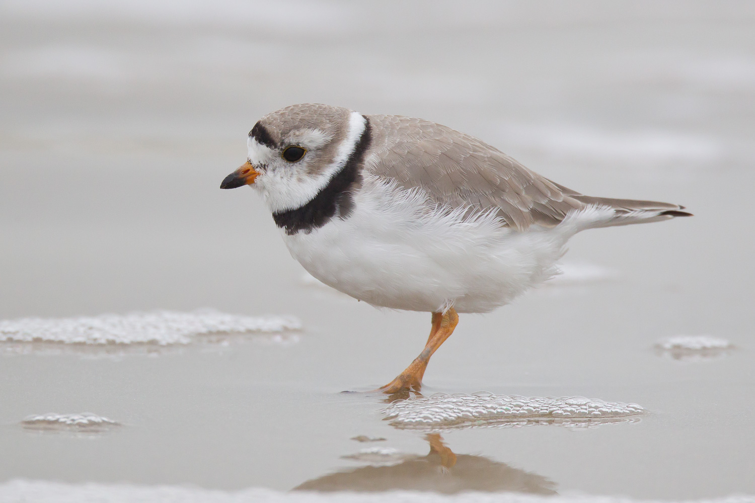 restoration of piping plover populations require Major threats to piping plover populations include human interference with habitat formation processes (eg, river dams and coastal stabilization projects), human disturbance, and predation by human commensals (usfws 1996, 2003) most management has focused on factors affecting reproductive success that, in some cases, may incidentally improve.
