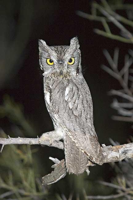Western Screech-Owl (Otus kennicottii)