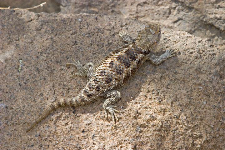 Desert Spiny Lizard Desert museum in tucson,