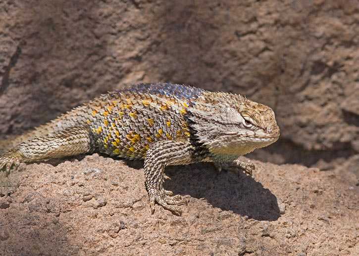 Desert Spiny Lizard The desert spiny lizard in the