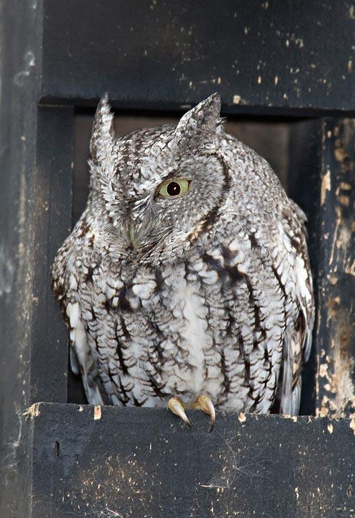 Eastern Screech Owl Otus Asio