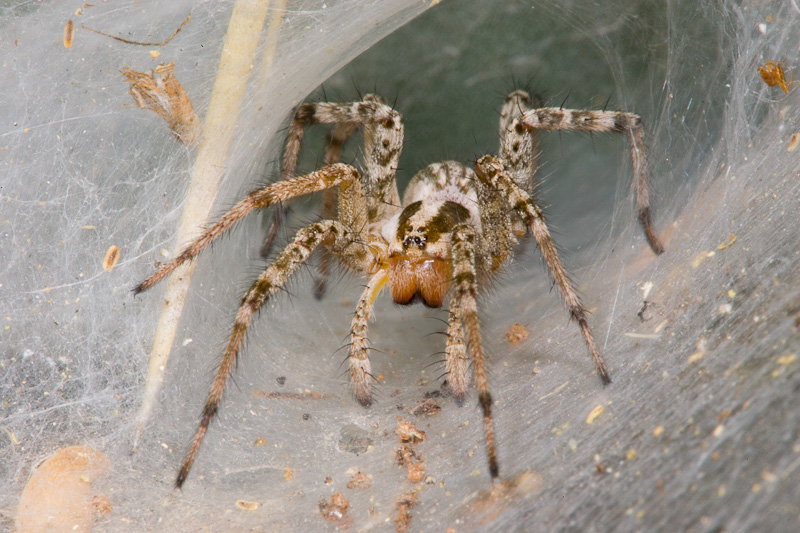 Funnel Weaver Spider (Agelenopsis species)