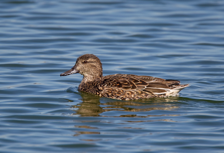 Green winged teal female
