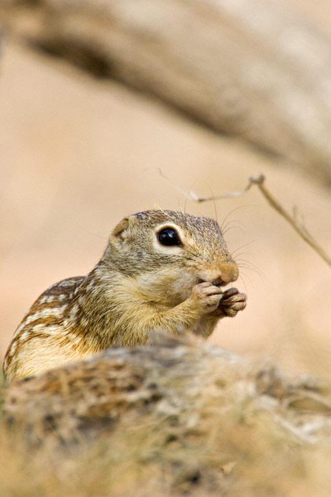 Mexican Ground Squirrel Spermophilus Mexicanus