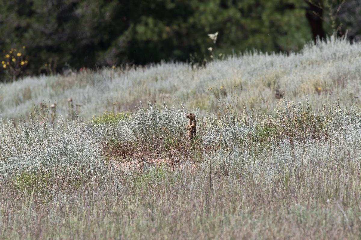 gunnison's prairie dogs - HD1200×800