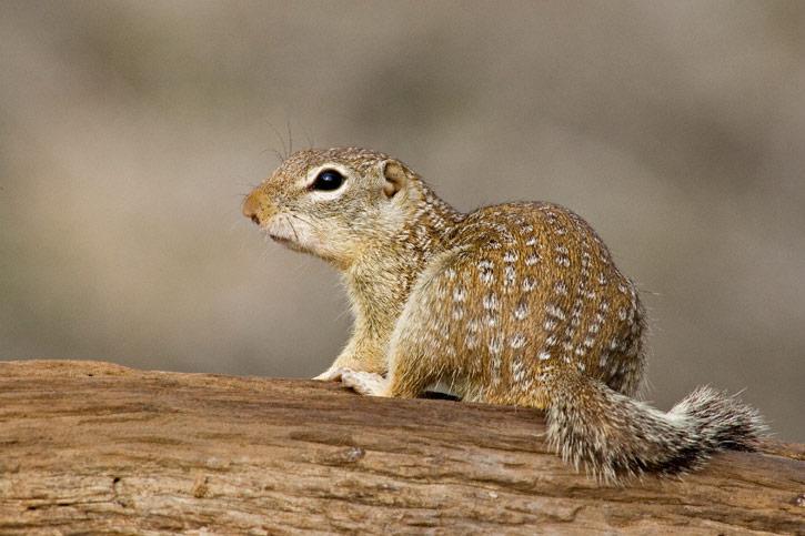 Rio Grande Ground Squirrel Ictidomys Parvidens
