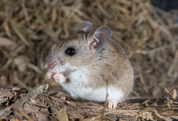 10 Fakta Menarik tentang Tikus