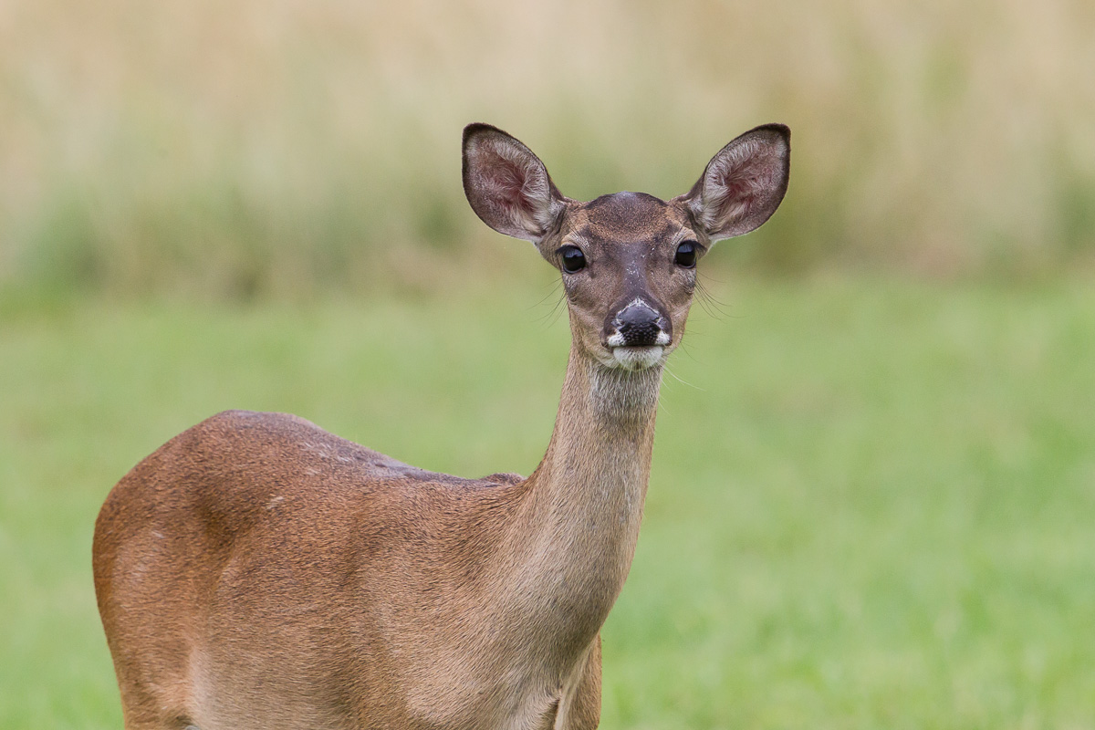 baby whitetail deer