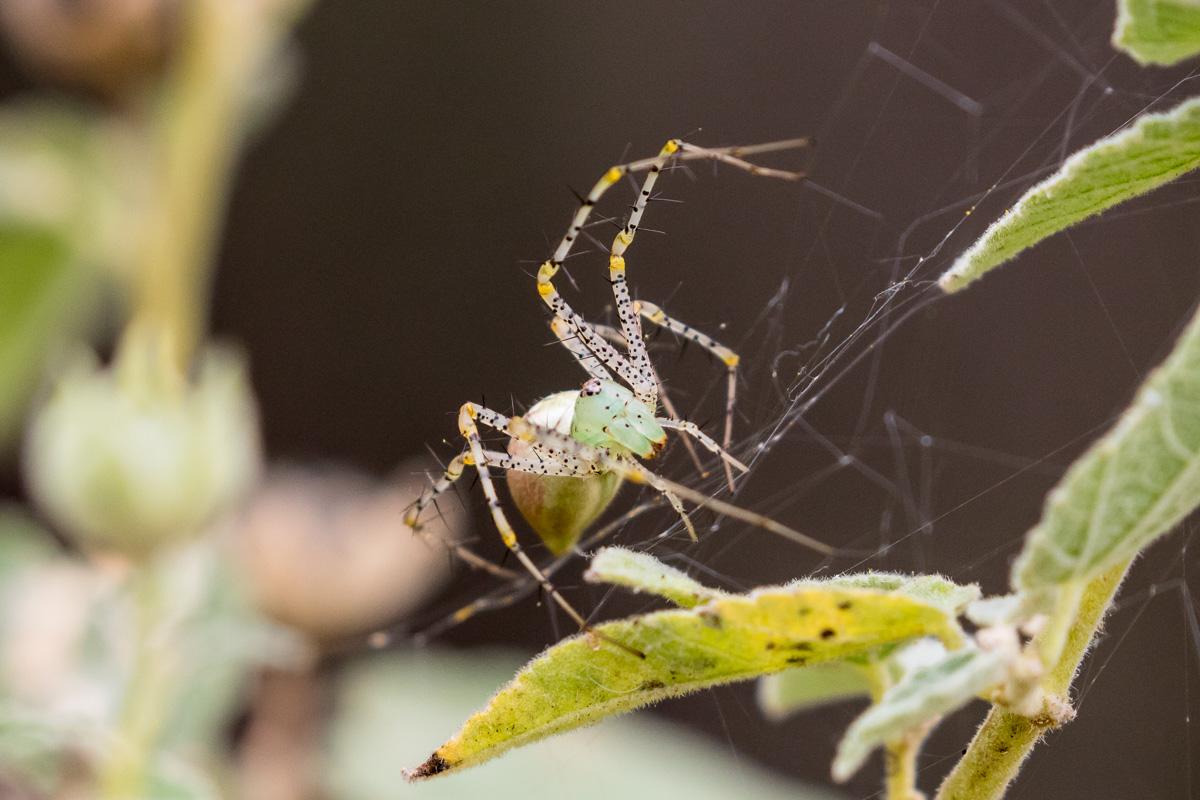 Green Lynx Spider Peucetia Viridans
