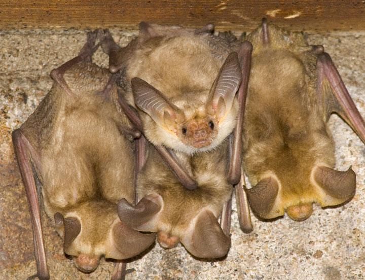 Pallid Bat Antrozous Pallidus