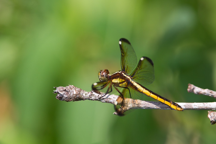 Spangled Skimmer (Libellula cyanea) - photo#43