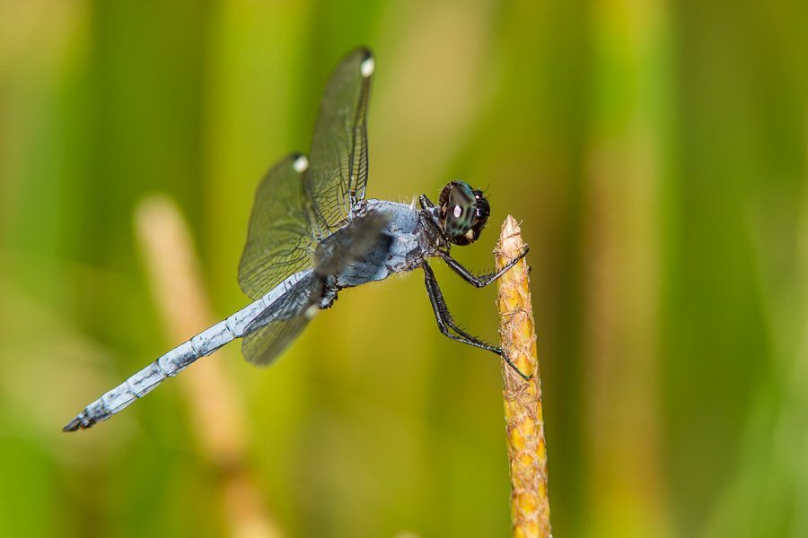 Spangled Skimmer (Libellula cyanea) - photo#33