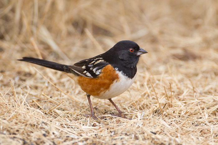 California Towhee  Introduction  Birds of North America