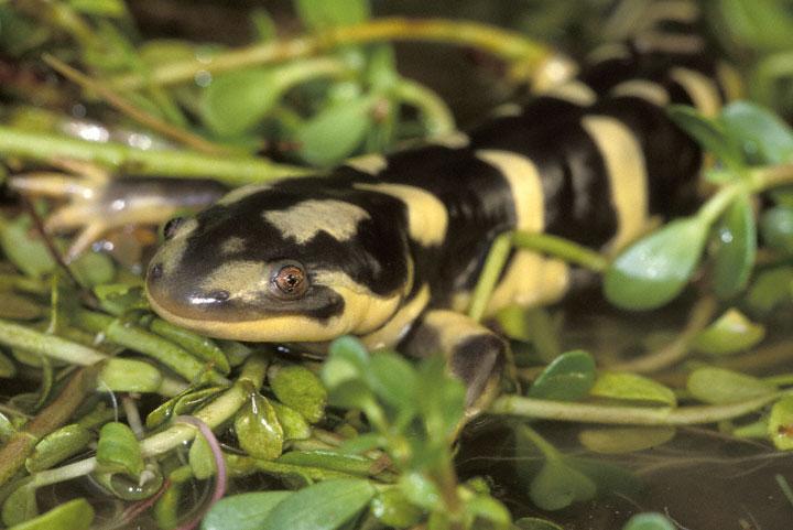 Eastern tiger salamander habitat