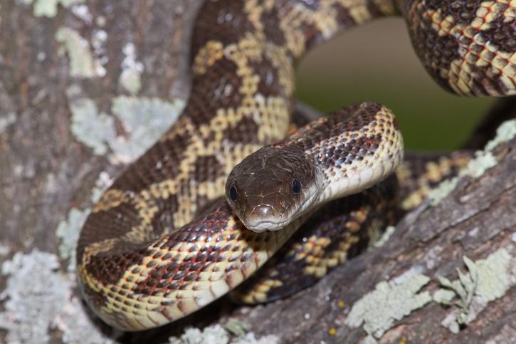 Texas Rat Snake Elaphe Obsoleta Lindheimeri Aka Lindheimer S Rat Snake