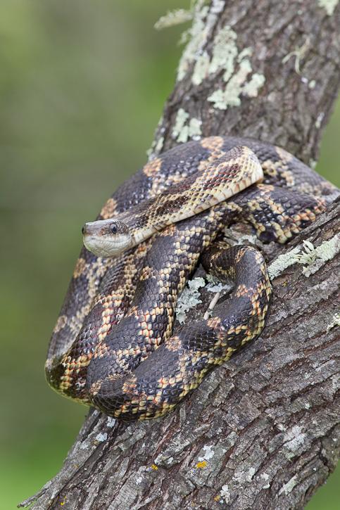 Texas Rat Snake (Elaphe obsoleta lindheimeri) AKA