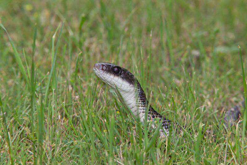 rat snake texas images - photo #29
