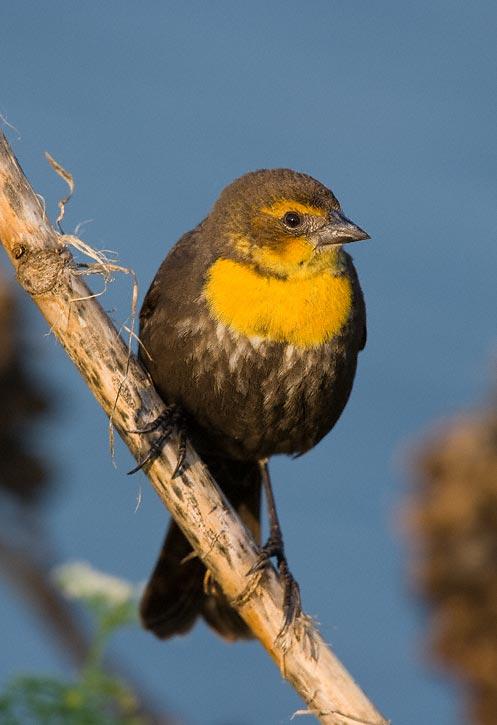 Yellow headed blackbird female