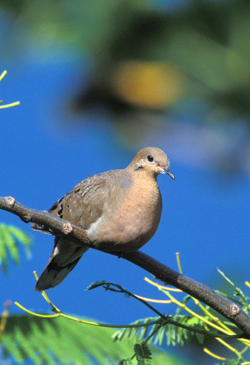 zenaida dove - photo #30
